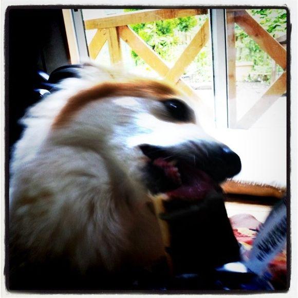 銀チョコを食べる犬?